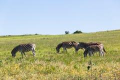 Zebra Landscape Wildlife stock image