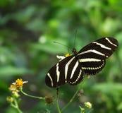 Zebra-langer Flügel Lizenzfreies Stockfoto