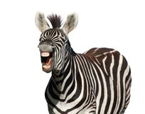Zebra Laugh or Shout. Zebra with a look of laughter isolated on white background Stock Images