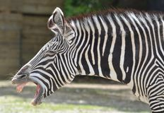 Zebra laughing Stock Photo