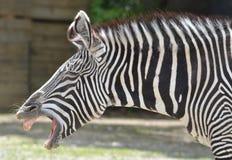 Zebra laughing Stock Photo