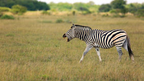 Zebra. Laughing Zebra in the Nxai Pan Nationalpark in Botsuana Royalty Free Stock Photo