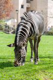 Zebra on a lawn. Zebra in captivity eating grass Royalty Free Stock Photo