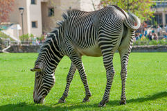 Zebra on a lawn. Full body picture of zebra in captivity eating grass Royalty Free Stock Image