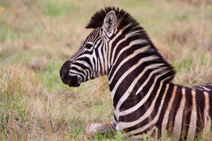 Zebra laying down. Looking into the distance Stock Photos