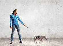 Zebra on lead Stock Photos