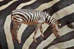 Zebra and leather skin Stock Photo