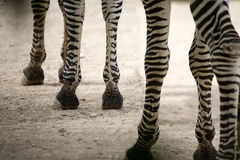 Zebra legs Royalty Free Stock Image