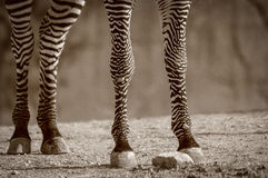 Zebra Legs Stock Photography