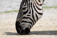 Zebra licking dirt Stock Photo