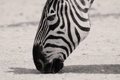 Zebra licking dirt Royalty Free Stock Image