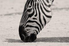Zebra licking dirt Royalty Free Stock Image
