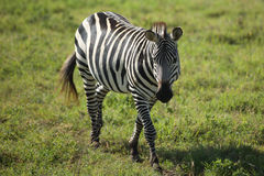 Zebra lindo em Parc nacional, África Foto de Stock Royalty Free