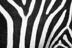 ZEBRA LINES. Zebra black and white skin Stock Photography