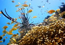 Zebra Lion Fish Stock Photo