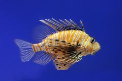Zebra lionfish Stock Photos
