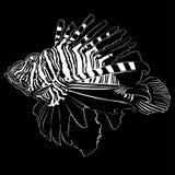 Zebra Lionfish Lizenzfreies Stockfoto