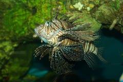 Zebra Lionfish Stockfotos