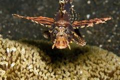 Free Zebra Lionfish Stock Image - 8383781