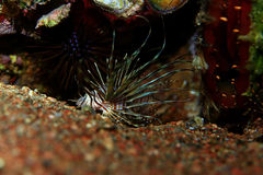 Zebra lionfish fish Royalty Free Stock Photos