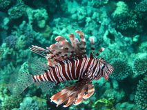 Zebra lionfish. (Pterois volitans) among the corals on a reef in the Red Sea (Sharm el Sheikh, Egypt Royalty Free Stock Photos
