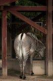 Zebra in Lisbon Zoo Stock Photos