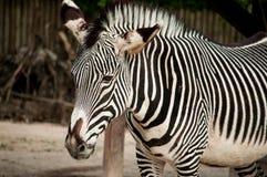 Zebra in Lisbon Zoo Stock Photo