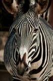 Zebra in Lisbon Zoo Royalty Free Stock Image
