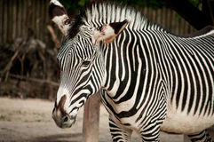 Zebra in Lissabon-Zoo Stockfoto