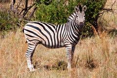 Zebra. A zebra living in a natural reserve Stock Photos