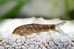 Zebra loach catfish Botia striata Royalty Free Stock Photo