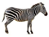Zebra lokalisiert auf weißem Hintergrund Stockbild