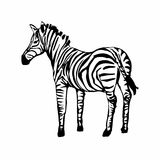 Zebra lokalisiert auf weißem Hintergrund Stockbilder
