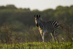 Zebra. Lone Zebra in a natural setting Stock Photo