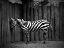 Zebra. Lonely zebra in the zoo Stock Photos