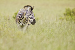 Zebra in long dry grass Stock Images