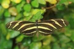 Zebra Longwing Fotografie Stock Libere da Diritti