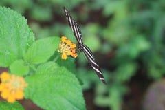 Zebra Longwing Fotografia Stock Libera da Diritti