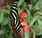 Zebra Longwing. Butterfly with a red flower stock photo
