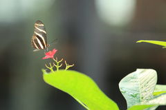 Zebra longwing Royalty Free Stock Images