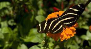 Zebra Longwing Butterfly Resting on Garden Flower Stock Image
