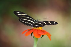 Zebra Longwing Stockbilder
