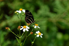 Zebra Longwing Stock Photography