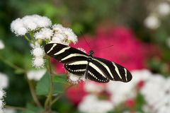 Zebra Longwing Immagine Stock
