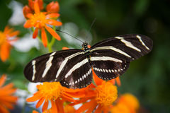 Zebra Longwing auf orange Blume Stockbilder