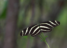 Zebra Longwing Butterfly - 1 Royalty Free Stock Photography