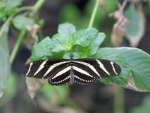 Zebra Longwing Butterfly 1 Royalty Free Stock Image