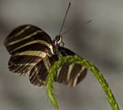 Zebra Longwing Butterfly. Macro photo of a Zebra Longwing Butterfly, Heliconius charitonius royalty free stock photo