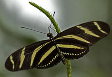 Zebra Longwing Butterfly. Macro photo of a Zebra Longwing Butterfly, Heliconius charitonius royalty free stock photos