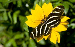 Zebra Longwing Butterfly Resting on Yellow Garden  Royalty Free Stock Photo
